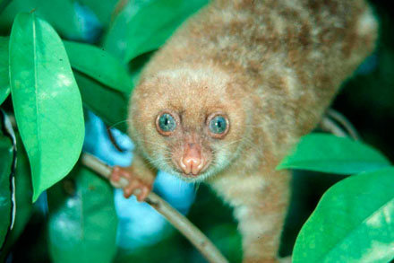 Over 1000 species newly discovered in new guinea horizon blue eyed spotted cuscus spilocuscus wilsoni papua new guinea one new mammal species has been discovered in the region on average every year over the sciox Images