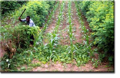 Policy Dynamics and Alley Farming Adoption in West and