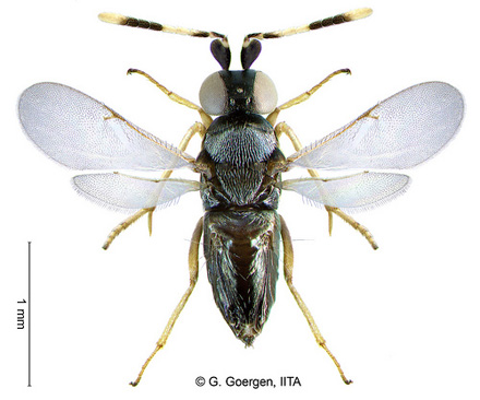 The Anagyrus Lopezi wasp - a
