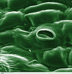 Colorized scanning electron microscope image of Lycopersicon esculentum (Tomato) lower leaf surface,: showing stomate and also some fungi attached to leaf surface. Text Louisa Howard, Dartmouth University Image courtesy of Wikipedia