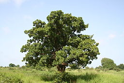 Vitellaria paradoxa (shea tree, karité), eastern Burkina Faso.: Photograph by Marco Schmidt courtesy of Wikimedia Commons