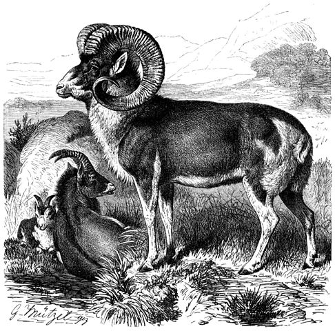 Marco Polo sheep rams.: Engraved by Gustave Mützel Published 1883 at the latest- this version of the book published then, may have appeared in earlier books. Courtesy of ZWikipedia from Brehm, Alfred/Brehms Thierleben/Säugethiere/Vierte Reihe: Hufthiere/Elfte Ordnung: Wiederkäuer (Ruminantia)/Sechste Familie: Hornthiere (Cavicornia)/23. Sippe: Schafe (Ovis)/Katschkar (Ovis Polii) Katschkar (Ovis Polii).1/17 natürl. Größe.