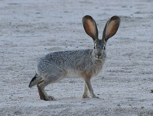 The black-tailed jackrabbit, also known as the American desert hare, is a common hare of the western United States and Mexico: where it is found at elevations from sea level up to 10,000 ft.  Photograph taken March 19, 2006 in Joshua Tree National Park.  By Jim Harper - en-wikipedia, CC BY-SA 2.5,  Text courtesy Wikipedia https://commons.wikimedia.org/w/index.php?curid=1054130