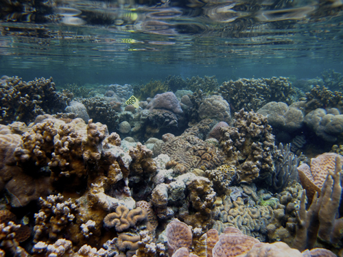 Coral reefs under low pH conditions in Palau are still diverse and have high coral cover.: Photograph by Hannah Barkley courtesy of NSF.