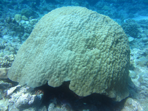 Huge Porites corals are relatively healthy throughout Palau waters.: Photograph by Hannah Barkley courtesy of NSF.