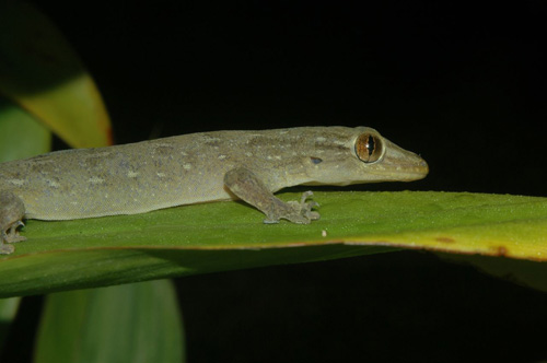 Most species of gecko, such as those shown here (Gehyra oceanica) are nocturnal and lack eyelids.: Nocturnal geckos have excellent night vision which allows them to navigate easily through their environment while they search for prey. Photographed on Moorea, French Polynesia by Edward A. Ramirez and Peter H. Niewiarowski