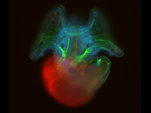 Epifluorescent microscopy image of an Atlantic slipper limpet veliger larva.: Photograph by Andreas Hejnol, Sars International Centre for Marine Molecular Biology courtesy of NSF