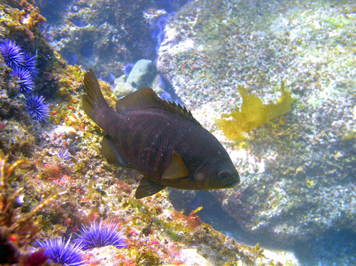 A black surfperch, subject of the study, swimming in the vicinity of Santa Cruz Island.: Photograph by Clint Nelson courtesy of NSF