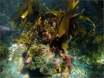 Kelp habitat in which black surfperch hunt for prey at Santa Cruz Island, California.: Photograph by Clint Nelson courtesy of NSF