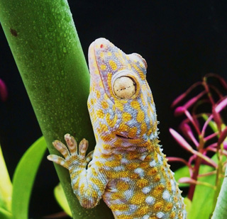 A tokay gecko (Gekko gecko) clings to leaf stem wet with water droplets.: Photograph by Alyssa Stark of The University of Akron