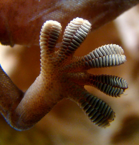 Close-up of the underside of a gecko's foot as it walks on a glass wall. Van der Waals force interactions: between the finely divided setae (hairs on the toes) and the glass enables the gecko to stay in place and walk on the seemingly smooth glass. Photograph by Bjørn Christian Tørrissen from Wikipedia