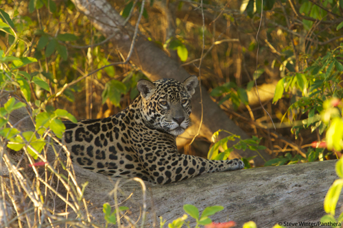 Panthera is leading an ambitious effort to establish a safe jaguar corridor from Mexico to Argentina.: Photograph by Steve Winter courtesy of Panthera.