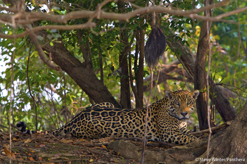 The Pantanal ecosystem is one of the most biologically rich environments in the world. By conserving jaguars,: the Pantanal Jaguar Project is also protecting the unique Pantanal ecosystem and the thousands of bird, plant, fish, mammalian, reptile and other species that share their home with the jaguar. Photograph by Steve Winter courtesy of Panthera.