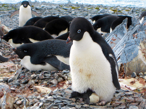 The Torgersen Island Penguin Camera The Penguin Camera is located on Torgersen Island (64°46'S, 64°04'W),: off the coast of Anvers Island and less than a mile from Palmer Station. Torgersen Island is home to a colony of Adélie penguins numbering approximately 2,500. This camera is seasonal and operates primarily from October to February, the Adélie breeding season. The camera is solar-powered and may sometimes experience brief outages due to inclement weather. Image and text courtesy of  United States Antarctic Program