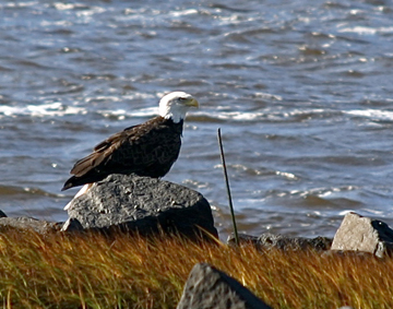 Bald Eagle, Annapolis Royal, Nova Scotia.: Photograph by Katie McLean for the Clean Annapolis River Project