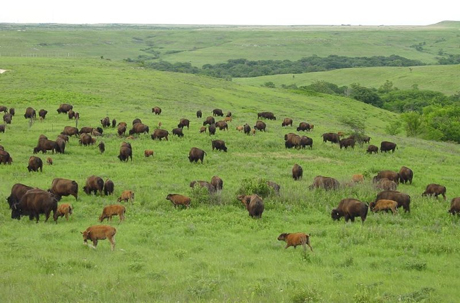 Bison on the prairie may gain more weight in years when droughts come in June or July.: Photograph courtesy of NSF Konza Prairie LTER Site