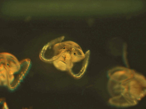 Microscopy image of Atlantic slipper limpet veliger larvae.: Photograph by Karen Chan, WHOI courtesy of NSF