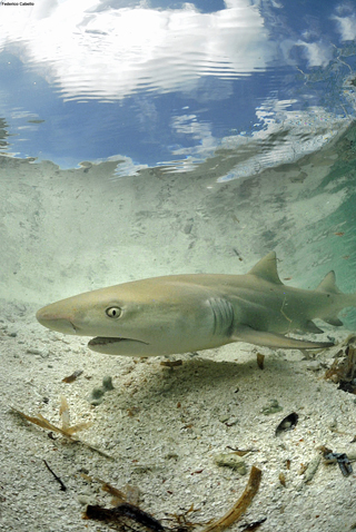 Shark scientist, Rafael Tavares, has been studying the lemon shark and other species in this area for more than 10 years.: Photograph by Federico Cabello
