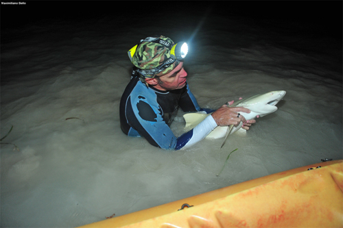 Rafael Tavares on a research trip, preparing to tag a juvenile lemon shark in the lagoons of Los Roques.: Photograph by Maximiliano Bello