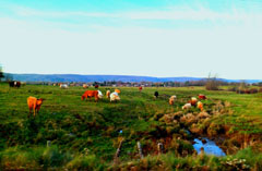 Cow pasture, Kings County, Nova Scotia.: Photograph by Angela Hughes for the Clean Annapolis River Project