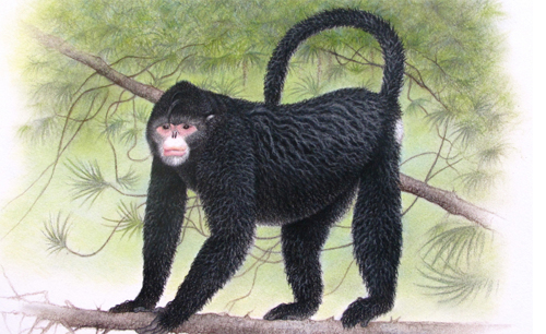 "Monkey, Rhinopithecus strykeri: While this species, sporting an Elvis-like hairstyle, is new to science, the local people of Myanmar know it well. Scientists first learned of ""Snubby"" - as they nicknamed the species - from hunters in Myanmar's forested, remote, and mountainous (Himalayan) Kachin state in early 2010. Image by and © Martin Aveling/Fauna & Flora International."