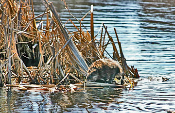 Muskrat at Annapolis basin marsh, Annapolis Royal, Nova Scotia.: Photograph by Katie McLean for the Clean Annapolis River Project
