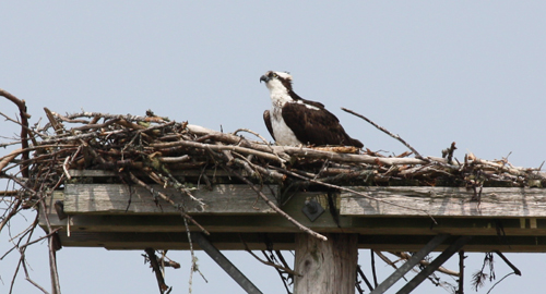 Nesting Osprey seen from the Annapolis Royal Generating Station: Photograph by Janine M. H. Selendy