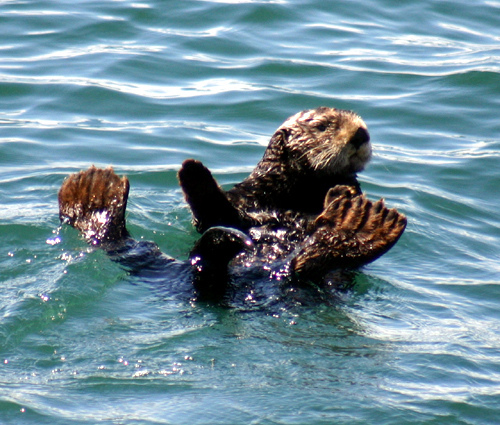 "A Sea Otter:  Sea otters are a ""keystone species"" within the kelp forest community, as they control: the red sea urchin population, effectively keeping the entire ecosystem in balance. Text and Photograph courtesy of NOAA's National Ocean Service"