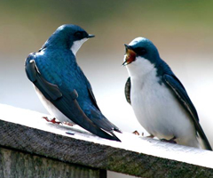 Tree swallows, Annapolis Basin Marsh, Annapolis Royal, Nova Scotia.: Photograph by Katie McLean