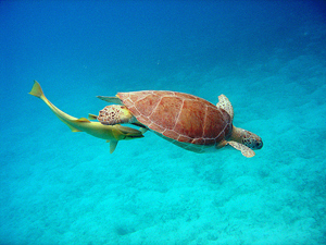 Sea Turtle located within the Virgin Islands Coral Reef National Monument.: Photograph courtesy of NOAA